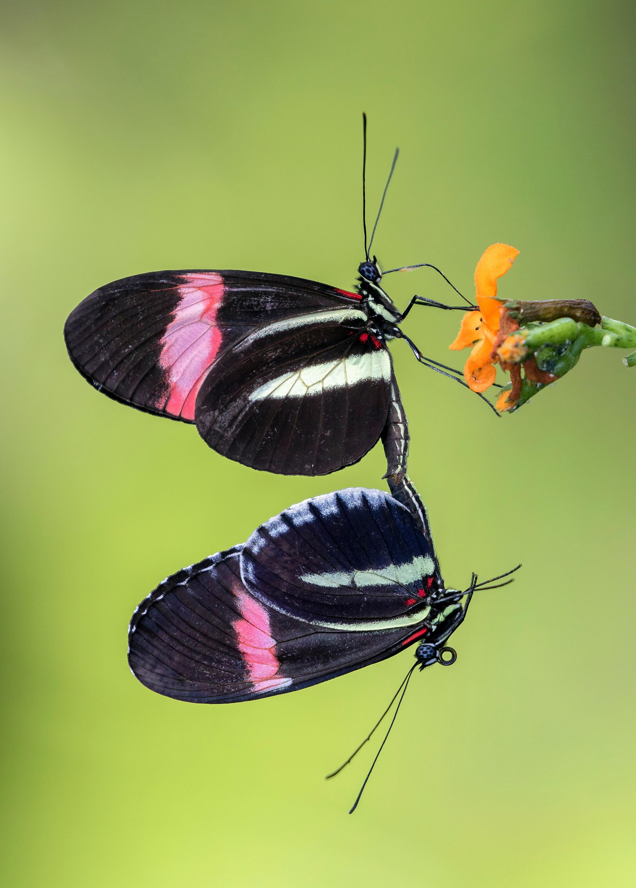 Butterflies - Pedro Lastra.jpg